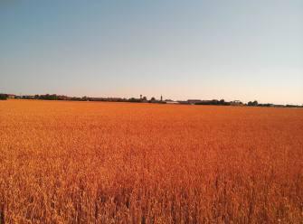 Campi di grano - Raffaele Arrigoni