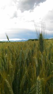 Mare di grano - Erika Caravaggi